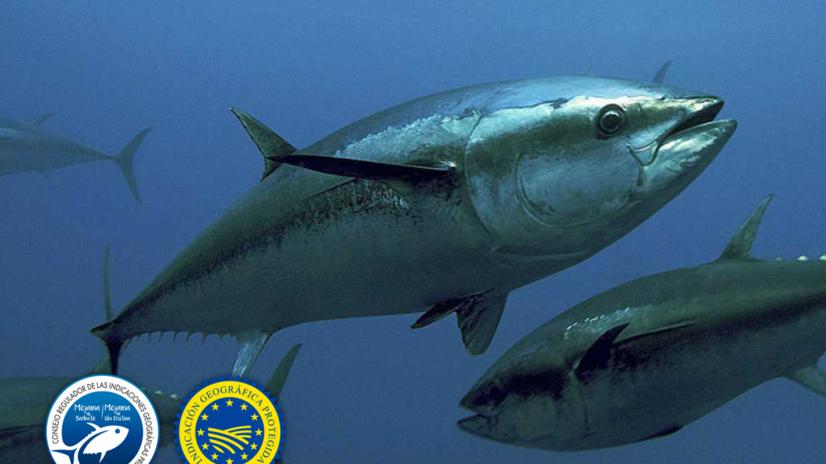 El atún rojo, un animal excepcional